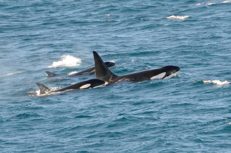 Orcas<br /> South Georgia Island