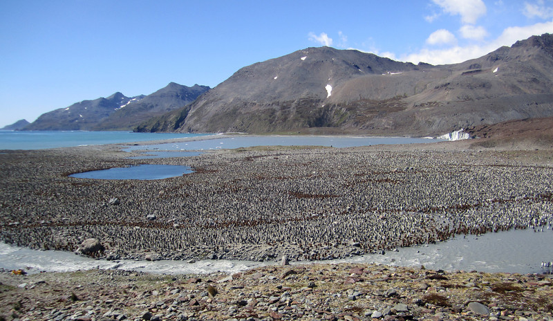 Enormous King Penguin colony, largest on South Georgia.<br /> St. Andrew's Bay, South Georgia Island.