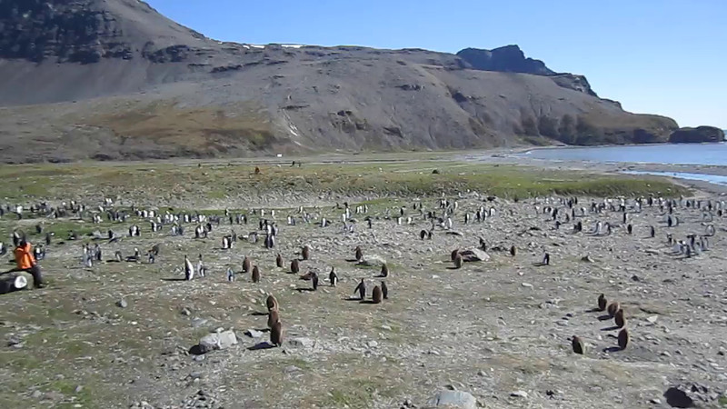 """Video clip showing huge King Penguin colony, numbering about 250K birds, at St. Andrew's Bay, South Georgia Island.  Despite strong winds, the penguin cacophony is clearly audible.  Only thing missing is the distinctive """"aroma""""."""