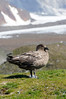 South Polar Skua<br /> St. Andrew's Bay, South Georgia