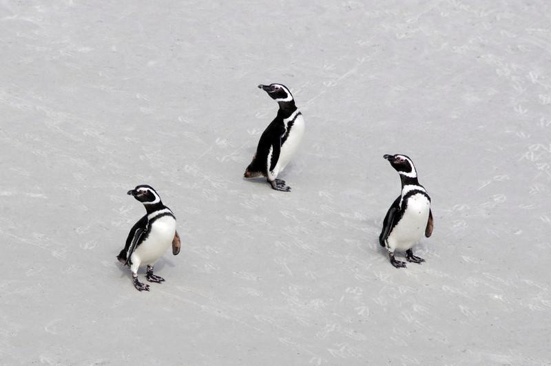 Magellanic Penguins, Spheniscus magellanicus, posing on Gypsy Cove beach.<br /> East Falkland Island.