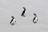 Magellanic Penguins, Spheniscus magellanicus, posing on Gypsy Cove beach.<br /> East Falkland Island.