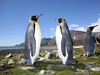 King Penguins, Aptenodytes patagonicus.<br /> St. Andrew's Bay, South Georgia Island.