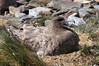 Nesting South Polar Skua<br /> St. Andrew's Bay, South Georgia