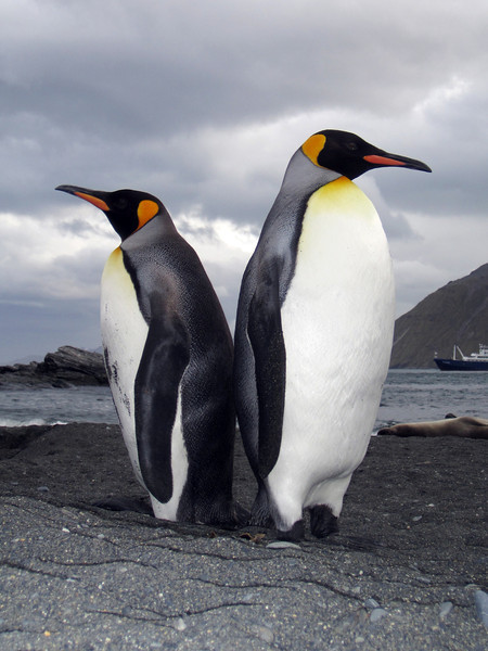 King Penguins<br /> Salisbury Plain, South Georgia Island.