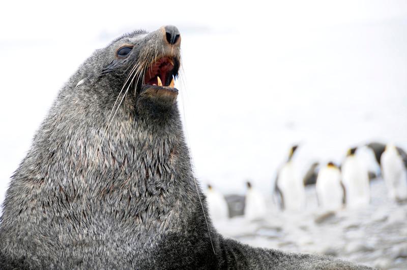 Fur seal bull<br /> Salisbury Plain, South Georgia Island