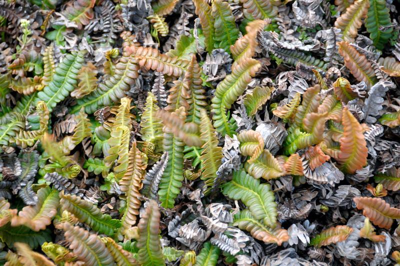 Hardy ferns<br /> East Falkland Island