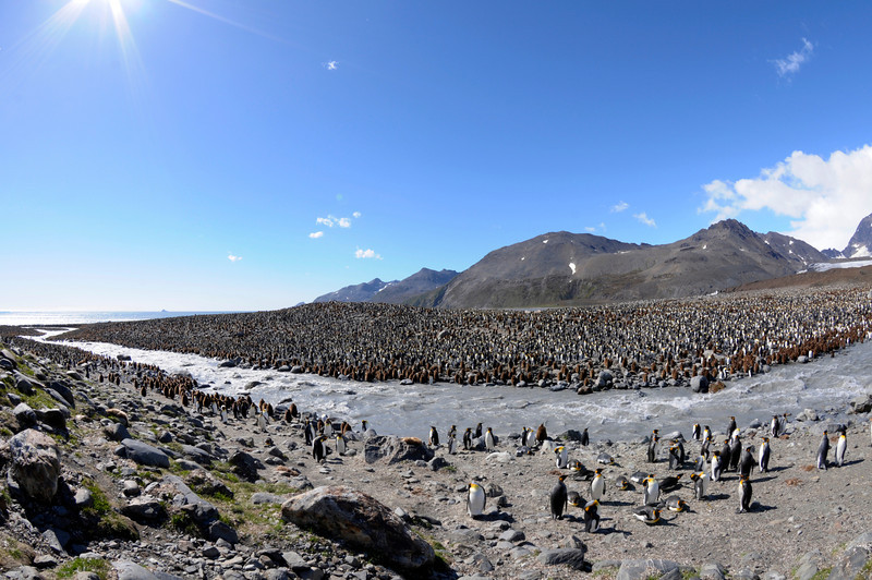 King Penguin colony, largest of South Georgia Island (St. Andrew's Bay).