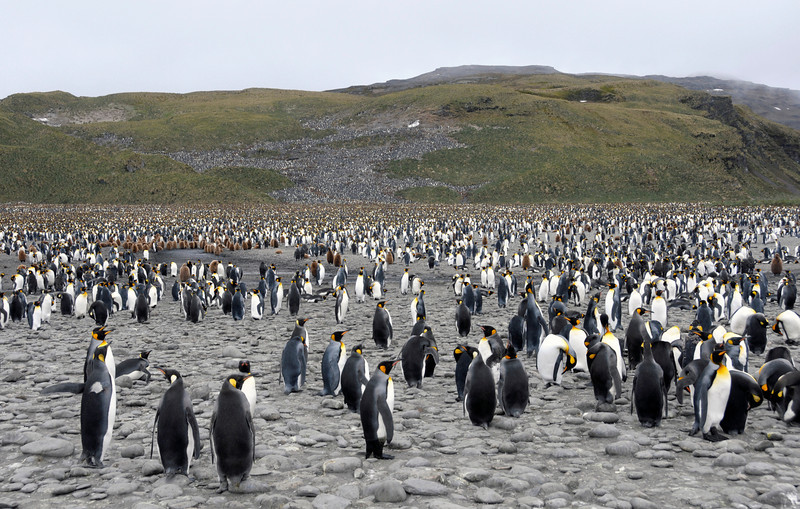 Massive King Penguin colony, numbering well over 200,000.<br /> Salisbury Plain, Bay of Isles, South Georgia Island