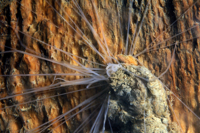 Terebellid Worm with extended tentacles, on pier piling<br /> Grytviken Bay, South Georgia Island