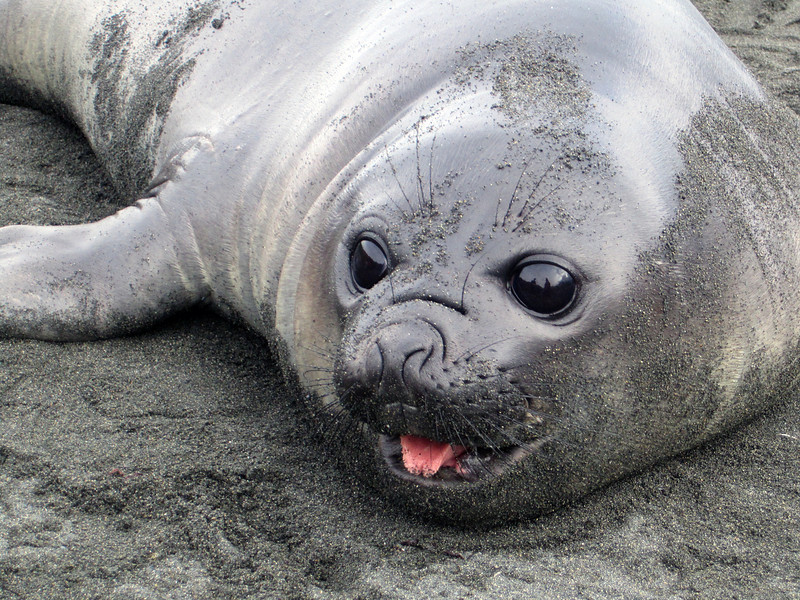 Elephant seal, juvenile.<br /> Giant Petrel, Macronectes halli<br /> Salisbury Plain, South Georgia Island.
