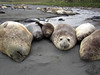 Elephant Seals<br /> South Georgia Island