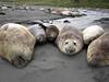 Elephant Seals<br /> South Georgia Island