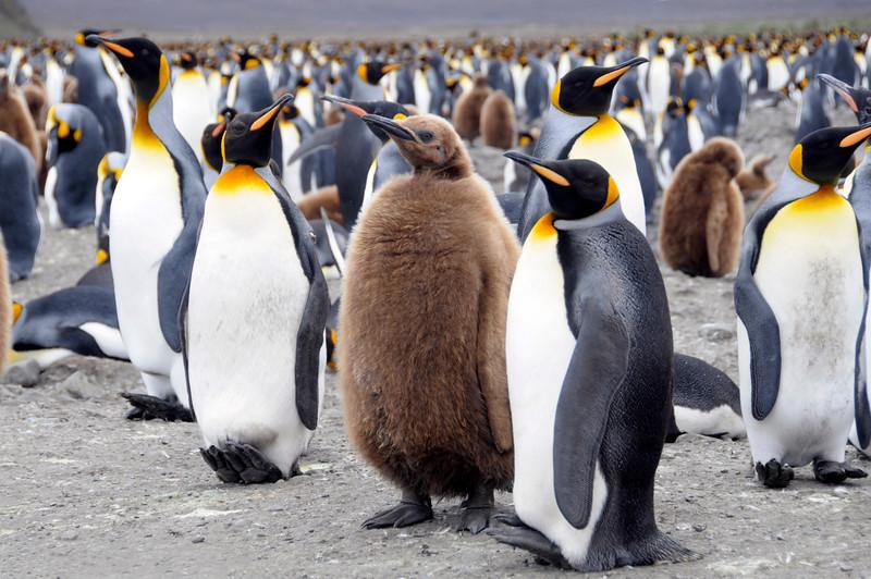 "Massive King Penguin colony. Brown ones, dubbed ""Oakum Boys"" are juveniles.<br /> Salisbury Plain, Bay of Isles, South Georgia Island"