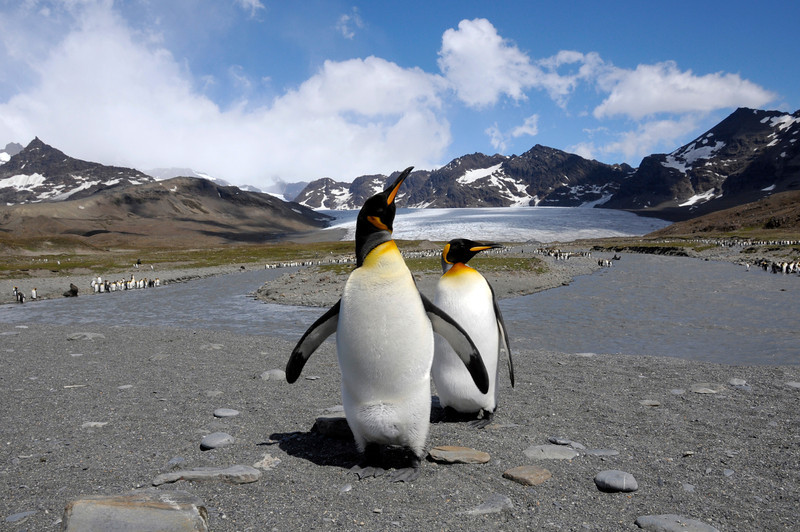 King Penguins posing.<br /> St. Andrew's Bay, South Georgia Island.
