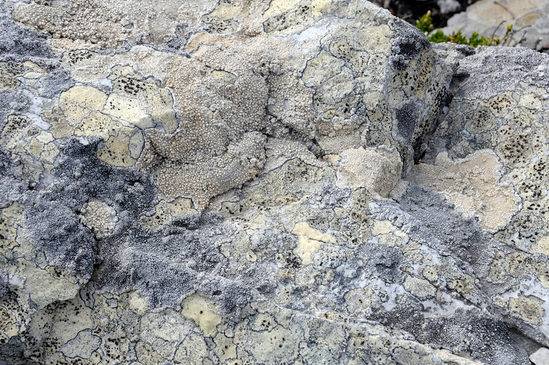 Lichens covering rocks.<br /> East Falkland Island