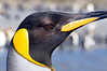 Detail of King Penguin head.<br /> St. Andrew's Bay, South Georgia Island.