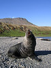 Fur seal<br /> South Georgia Island
