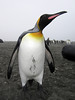 Curious King Penguin.<br /> Salisbury Plain, South Georgia Island.