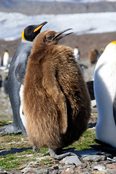 King Penguin juvenile.<br /> St. Andrew's Bay, South Georgia Island.