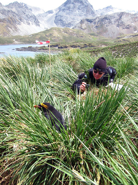 Photographer and macaroni penguin in Tussock grass.<br /> Cooper's Bay, South Georgia Island.<br /> Photo by Jeff Bozanic.