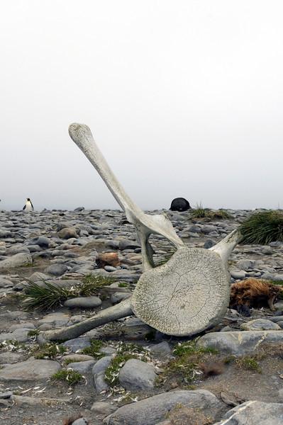Whale vertebrae<br /> Salisbury Plain, Bay of Isles, South Georgia Island