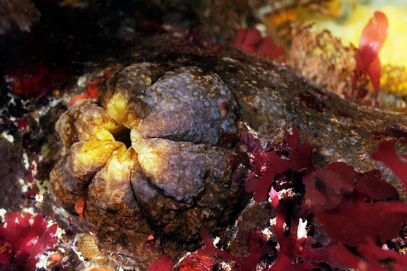 Large Tunicate<br /> Godthul, South Georgia Island