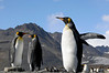 King Penguins.<br /> St. Andrew's Bay, South Georgia Island.