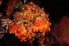 Large tunicates<br /> Godthul, South Georgia Island