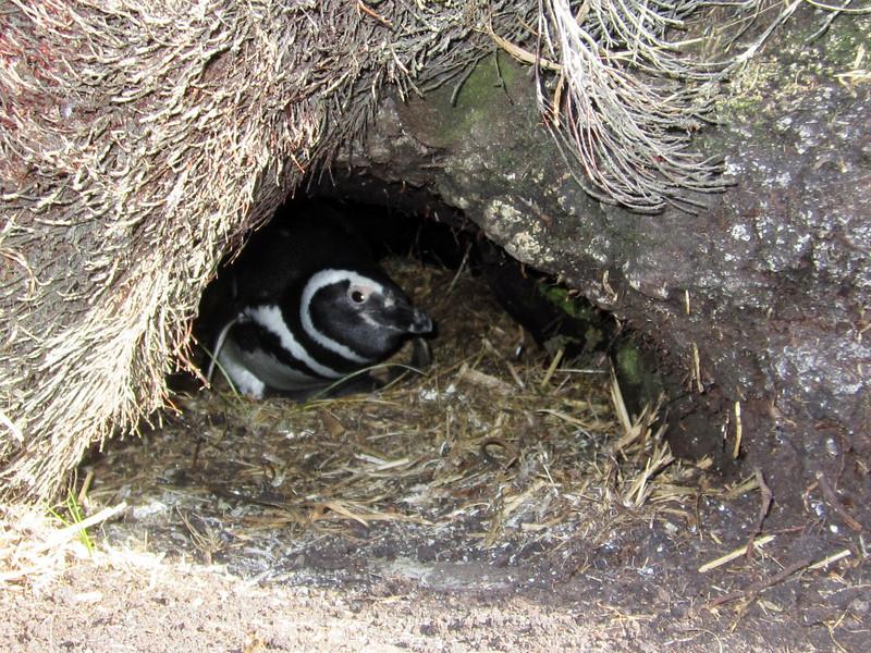 Magellanic Penguin, Spheniscus magellanicus, incubating eggs.<br /> East Falkland Island