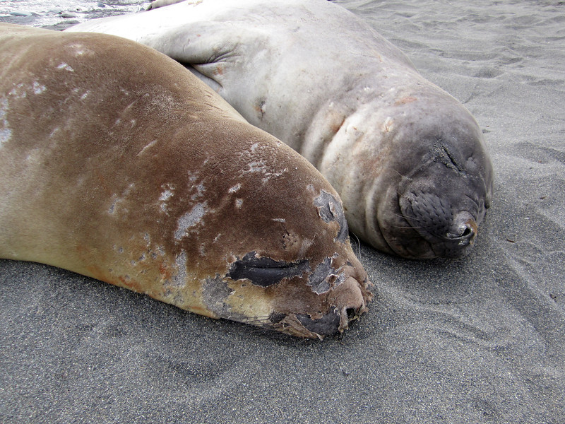 Molting Elephant Seal<br /> South Georgia Island
