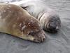 Molting Elephant Seal<br /> South Georgia Island