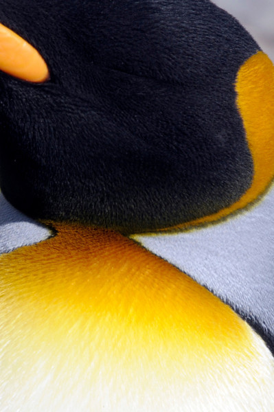 Detail of King Penguin coloration, chest & head.<br /> St. Andrew's Bay, South Georgia Island.