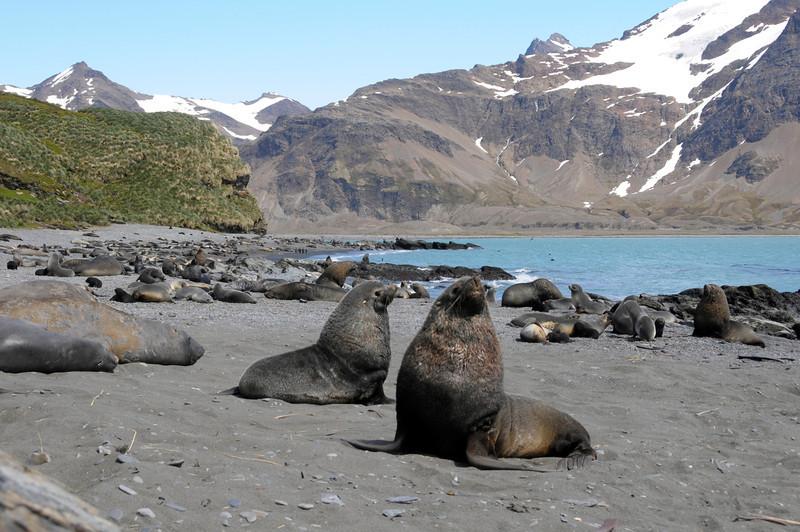 Fur Seals on Fortuna Bay<br /> South Georgia Island
