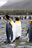 King Penguins, Aptenodytes patagonicus.<br /> Salisbury Plain, Bay of Isles, South Georgia Island