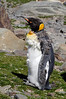 Molting King Penguin, Aptenodytes patagonicus.<br /> St. Andrew's Bay, South Georgia Island.