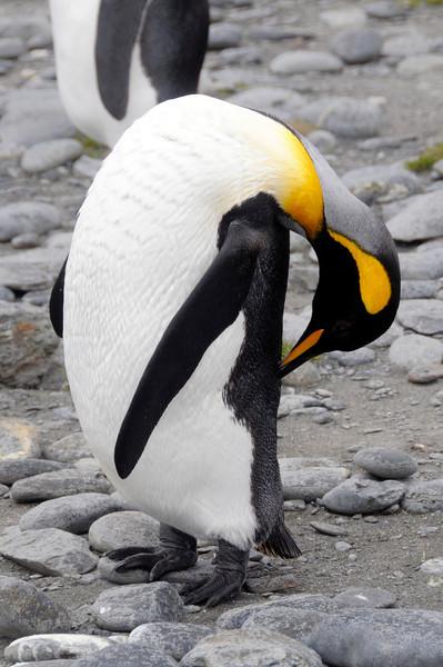King Penguin tending its feathery coat.<br /> Salisbury Plain, South Georgia Island.