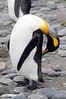 King Penguin tending its feathery coat.<br /> Salisbury Plain, South Georgia Island.