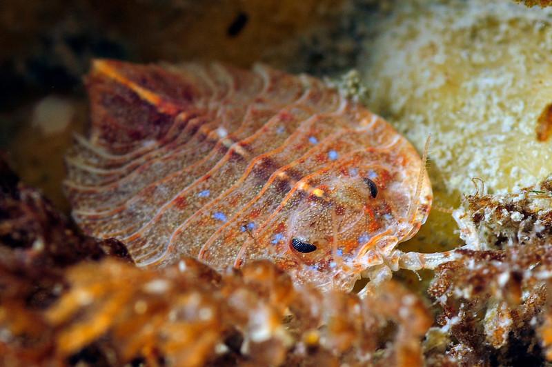 Isopod<br /> Wall at Hercules Bay, South Georgia Island