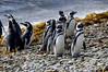 Magellanic Penguins, Spheniscus magellanicus,.<br /> East Falkland Island.