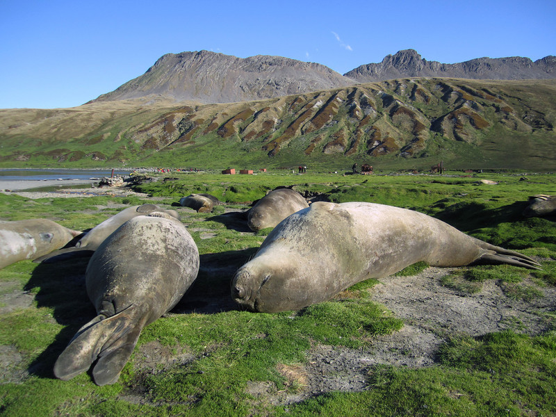 Lounging Elephant Seals<br /> Ocean Harbor, South Georgia Island