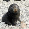 Fur Seal pup.<br /> Stomness, South Georgia Island.