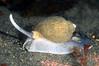 Snail: Antarctic whelk, Neobuccinum eatoni<br /> Godthul, South Georgia Island<br /> ID thanks to Peter Brueggeman