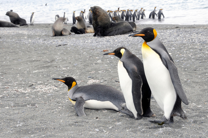 King Penguin trio, Aptenodytes patagonicus.<br /> Salisbury Plain, Bay of Isles, South Georgia