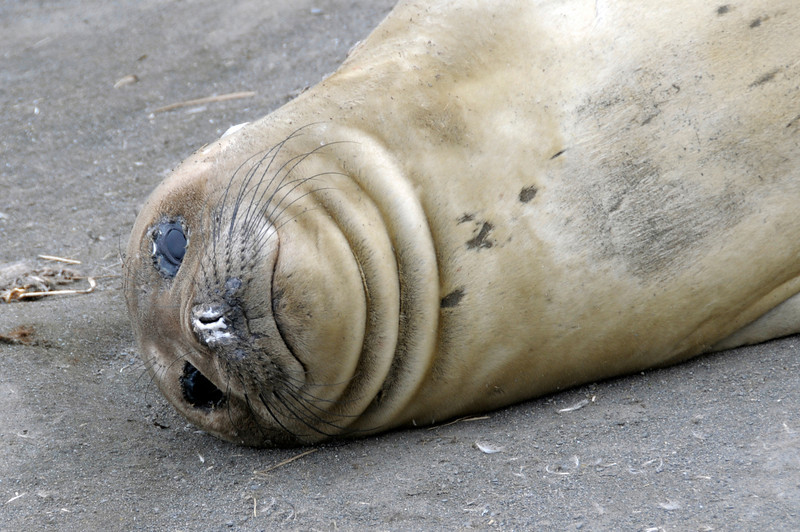 Elephant Seal<br /> South Georgia Island