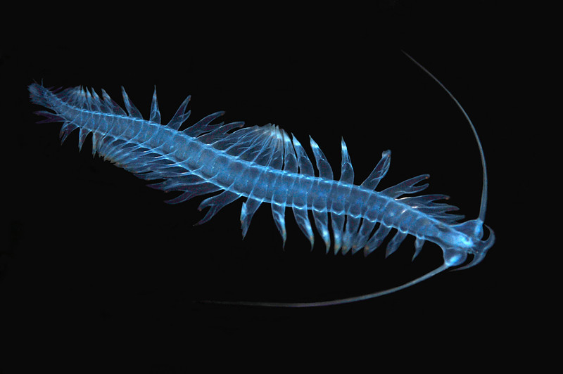 Worm: Pelagic Polychaete. Tomopteridae, genus Tomopterus<br /> Cooper's Bay, South Georgia Island<br /> ID thanks to Leslie Harris