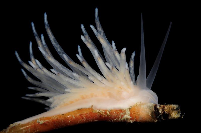 Nudibranch: Cuthona elioti<br /> Grytviken Pier<br /> South Georgia Island
