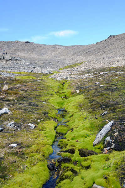Moss growing along a rivulet, by the path from Fortuna Bay to Stromness<br /> South Georgia Island