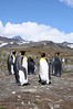 King Penguins<br /> St. Andrew's Bay, South Georgia Island.