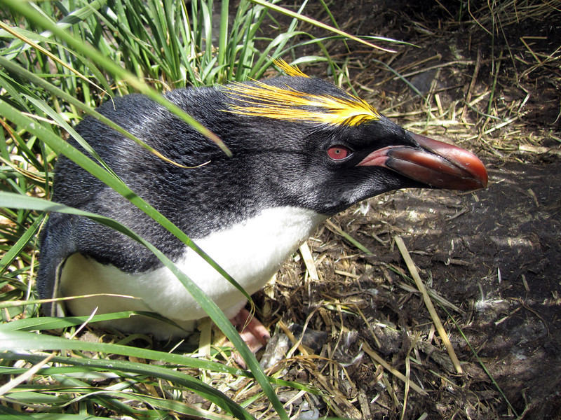 Macaroni Penguin, Eudyptes chrysolophus, nesting in tussock grass.<br /> Cooper's Bay, South Georgia Island
